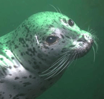 image of harbor seal underwater by Chad King