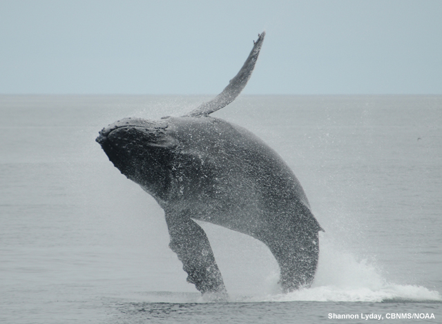 picture of a humpback whale breaching in the Cordell Bank National Marine Sanctuary