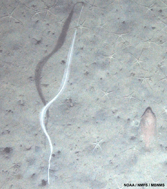 image of a sole sits next to a sea whip surrounded by white brittle stars