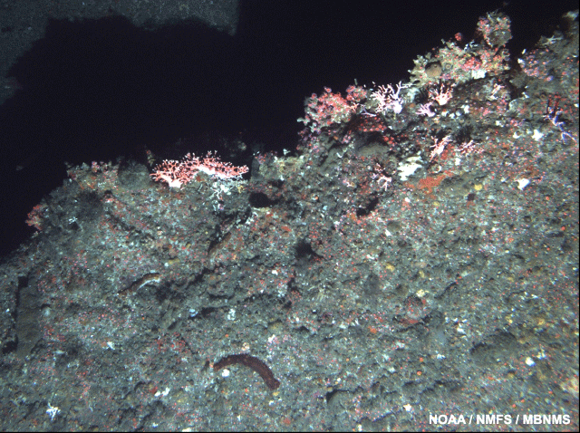 image of a hydrocoral on a rocky ridge