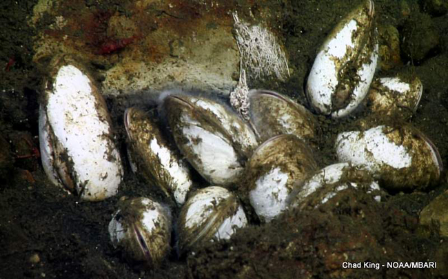 picture of Vesicomyid clams half-buried within a cold seep on Sur Ridge