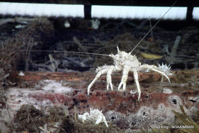 picture of A galtheid crab sits on top of a corn bale, 10,500 feet deep
