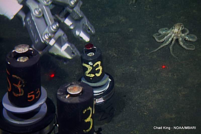 picture of ROV arm taking core samples overseen by octopus
