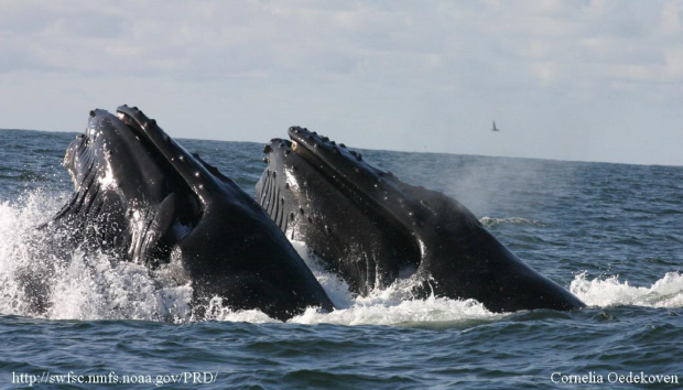 picture of two humpback whales lunge feeding