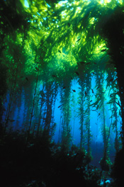 Kelp Forest in CINMS