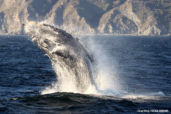 image of a humpback whale breaching in mbnms