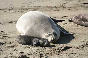 elephant seal and pup on the beach