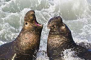 two elephant seals fighing in surf