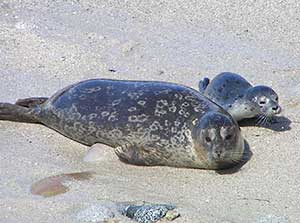 harbor seal and pup on the beach