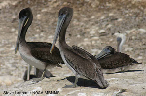picture of brown pelicans at Anu Nuevo