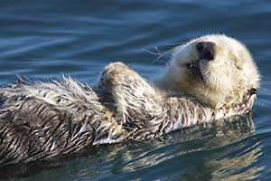 sea otter on its back