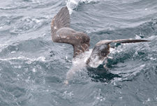 picture of Pink-footed Shearwater diving for fish