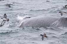 picture of Humpback whale and Shearwaters at feeding frenzy (Pacific Mackerel jumping out of water)