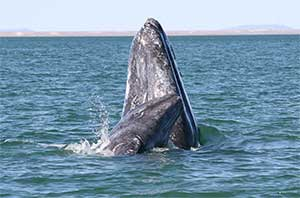Gray Whales spy hopping