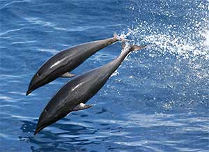 pair of Northern Right Whale Dolphins